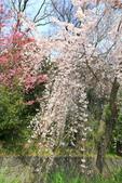 日本關西賞櫻深度之旅-平野神社- 42-22:A81Q2125.JPG