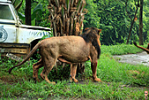 15-5-峇里島-Safari Marine Park野生動物園:IMG_1245峇里島-Safari Marine Park野生動物園.jpg