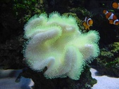 全球十大最美的珊瑚:6.皮革蘑菇珊瑚(學名:Sarcophtyton SP).jpg