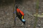 像花一樣的罕見鳥兒_天堂鳥:image010.jpg