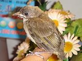 白頭翁小鳥生長過程-我家花園:20080503DSC08731小鳥離巢試飛日第十一天飛進佛堂跳上我的手
