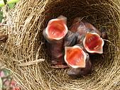 白頭翁小鳥生長過程-我家花園:20080427DSC08506孵出約五天.JPG
