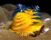 全球十大最美的珊瑚:2.聖誕樹蠕蟲(學名:Spirobranchus Giganteus).jpg