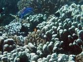 全球十大最美的珊瑚:7-1.手指珊瑚(學名:Porites Compressa).jpg
