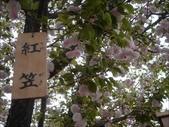 罕見品種的日本櫻花_大阪賞櫻名所造幣局 :圖片7.jpg
