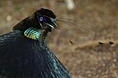 像花一樣的罕見鳥兒_天堂鳥:image015.jpg