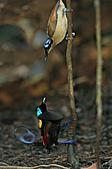 像花一樣的罕見鳥兒_天堂鳥:image016.jpg