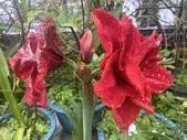 我家花園的花卉:20200310_133604-uid-E68523A5-7E7B-413B-834A-B02785281482.jpeg