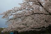 日本九州春櫻尊爵全覽之旅-1_福岡市舞鶴公園-綻放春櫻:A81Q5690.JPG