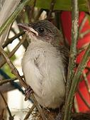 白頭翁小鳥生長過程-我家花園:20080503DSC08769小鳥離巢試飛日第十一天離巢上來玩看世界.jpg