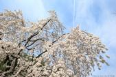 日本關西賞櫻深度之旅-平野神社- 42-22:A81Q2107.JPG