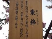 罕見品種的日本櫻花_大阪賞櫻名所造幣局 :圖片12.jpg