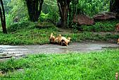15-5-峇里島-Safari Marine Park野生動物園:IMG_1250峇里島-Safari Marine Park野生動物園.jpg