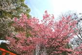 日本關西賞櫻深度之旅-平野神社- 42-22:A81Q2117.JPG