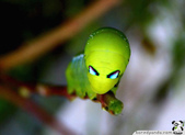 好漂亮的毛毛蟲 (你鐵定沒看過!):02.jpeg