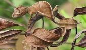 自然界的偽裝技巧-你看到它們了嗎?:1-融合從大鱷Andasibe Mantadia國家公園,馬達加斯加此撒旦葉尾壁虎隱藏,或者是它只是一個葉?.jpg