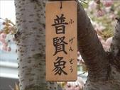 罕見品種的日本櫻花_大阪賞櫻名所造幣局 :圖片14.jpg