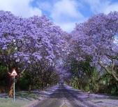 世界絕美樹隧道:1-南非 藍花楹道路.jpg
