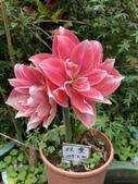 我家花園的花卉:20180428_111620-uid-09F57CD1-8FEC-4B4F-92DC-F67A73E7CA8C.jpeg
