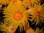 全球十大最美的珊瑚:5-2.杯狀珊瑚(學名:Dendrophyllidae).jpg