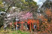 日本關西賞櫻深度之旅-平野神社- 42-22:A81Q2118.JPG