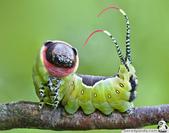 好漂亮的毛毛蟲 (你鐵定沒看過!):12.jpeg