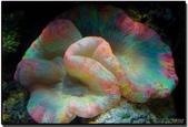 全球十大最美的珊瑚:4.八字腦珊瑚(學名:Trachyphyllia Geoffroyi).jpg