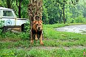 15-5-峇里島-Safari Marine Park野生動物園:IMG_1252峇里島-Safari Marine Park野生動物園.jpg