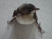 白頭翁小鳥生長過程-我家花園:20080503DSC08700小鳥離巢試飛日第十一天飛進佛堂跳上門簾.JPG