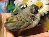 白頭翁小鳥生長過程-我家花園:20080503DSC08727小鳥離巢試飛日第十一天飛進佛堂跳上我的手