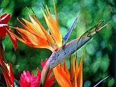 夏威夷全景 :圖片10-極樂(天堂)鳥Bird of Paradise.jpg
