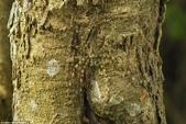 自然界的偽裝技巧-你看到它們了嗎?:3-吠錯了樹:這幾乎是不可能的挑選出地衣蜘蛛在四面佛在泰國國家公園.jpg