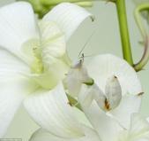 自然界的偽裝技巧-你看到它們了嗎?:6-這是一個開花良好的偽裝:蘭花螳螂坐在裡面花.jpg