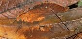 自然界的偽裝技巧-你看到它們了嗎?:7-unbe葉能夠:葉凱蒂沒有看起來像在哥倫比亞聖西普里亞諾自然保護區,森林地面的一部分.jpg