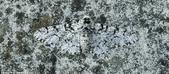 自然界的偽裝技巧-你看到它們了嗎?:9-嗡嗡叫了:這胡椒蛾發現一塊岩石上完美的藏身之處.jpg