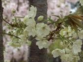 罕見品種的日本櫻花_大阪賞櫻名所造幣局 :圖片19.jpg