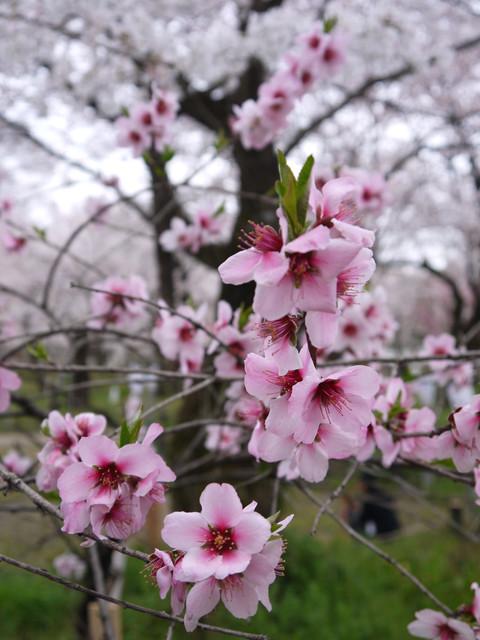 2013春賞櫻8日行***DAY3 醍醐寺→金閣寺→平野神社:1541713165.jpg