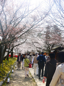 2013春賞櫻8日行***DAY3 醍醐寺→金閣寺→平野神社:1541713104.jpg