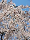 2013春賞櫻8日行***DAY3 醍醐寺→金閣寺→平野神社:1541713071.jpg