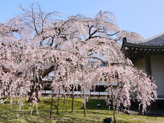 2013春賞櫻8日行***DAY3 醍醐寺→金閣寺→平野神社:1541713133.jpg
