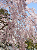 2013春賞櫻8日行***DAY3 醍醐寺→金閣寺→平野神社:1541713079.jpg