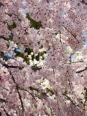 2013春賞櫻8日行***DAY3 醍醐寺→金閣寺→平野神社:1541713080.jpg