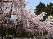 2013春賞櫻8日行***DAY3 醍醐寺→金閣寺→平野神社:1541713084.jpg