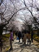 2013春賞櫻8日行***DAY3 醍醐寺→金閣寺→平野神社:1541713117.jpg
