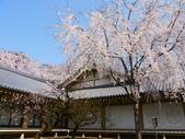 2013春賞櫻8日行***DAY3 醍醐寺→金閣寺→平野神社:1541713120.jpg