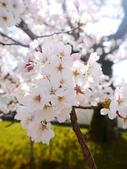 2013春賞櫻8日行***DAY3 醍醐寺→金閣寺→平野神社:1541713088.jpg