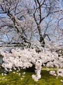 2013春賞櫻8日行***DAY3 醍醐寺→金閣寺→平野神社:1541713123.jpg