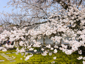 2013春賞櫻8日行***DAY3 醍醐寺→金閣寺→平野神社:1541713126.jpg