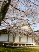2013春賞櫻8日行***DAY3 醍醐寺→金閣寺→平野神社:1541713128.jpg