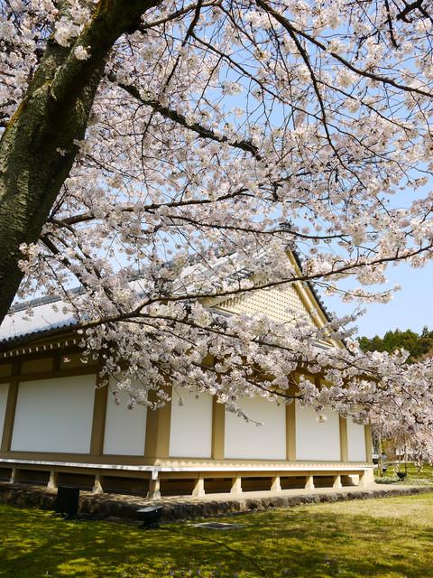 2013春賞櫻8日行***DAY3 醍醐寺→金閣寺→平野神社:1541713129.jpg
